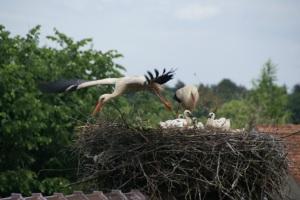 Vortrag zum Schutz und Bestandsentwicklung des Weißstorches in Sachsen